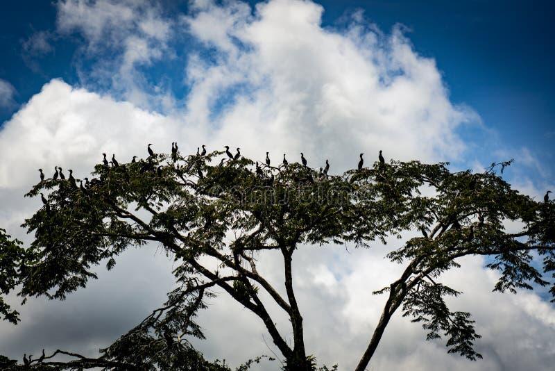 Grote groep vogels in boom tegen wolken en blauwe hemel in de Peruviaanse wildernis van Amazonië, iquitos, Peru royalty-vrije stock foto's