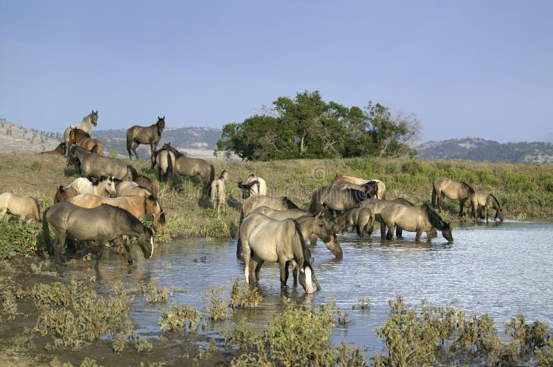 Grote groep wild paarden royalty-vrije stock afbeeldingen