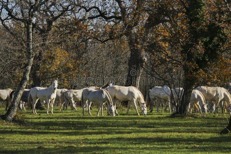 Grote groep witte paarden die in het bos weiden stock afbeelding