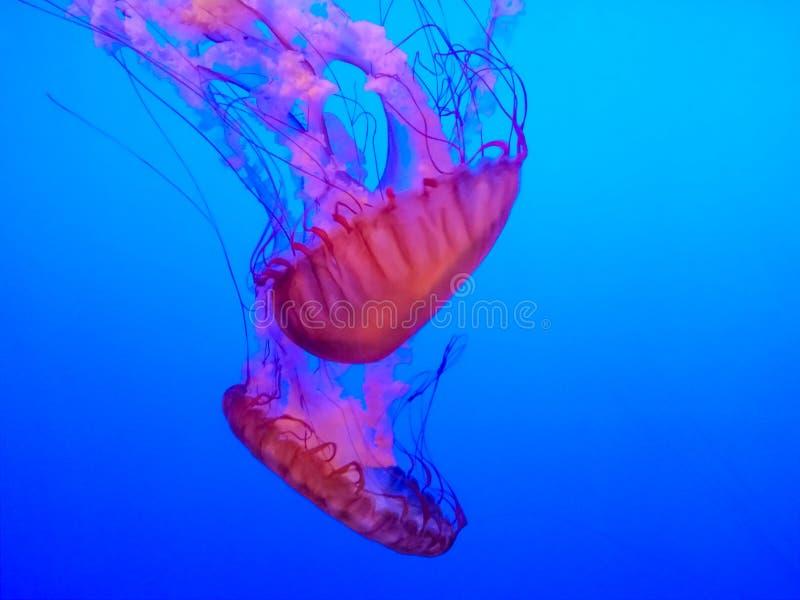 Grote heldere kwallen die in het water van aquarium zwemmen stock fotografie