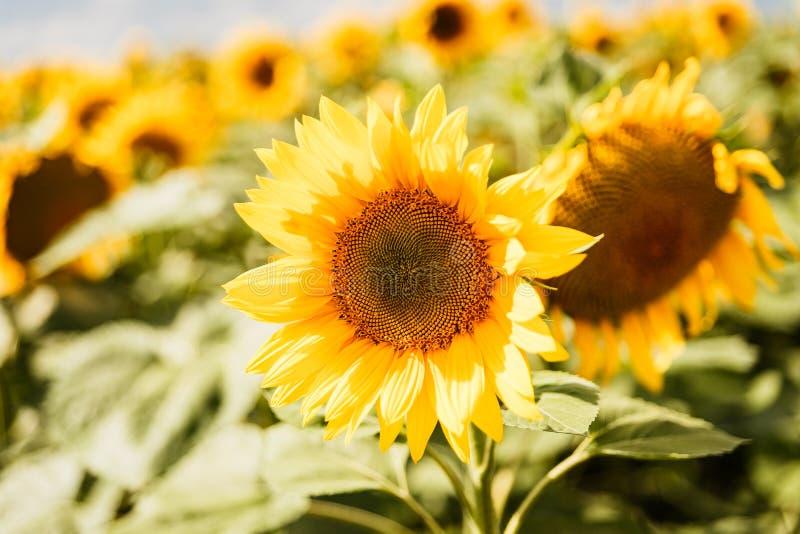 Grote heldere zonnebloemen die op de zomergebied bloeien royalty-vrije stock afbeeldingen