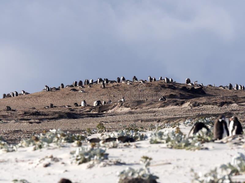 Grote het nestelen kolonie van Gentoo-pinguïn, Pygoscelis Papoea, eiland van Peilers, Falkland Islands-Malvinas stock afbeeldingen