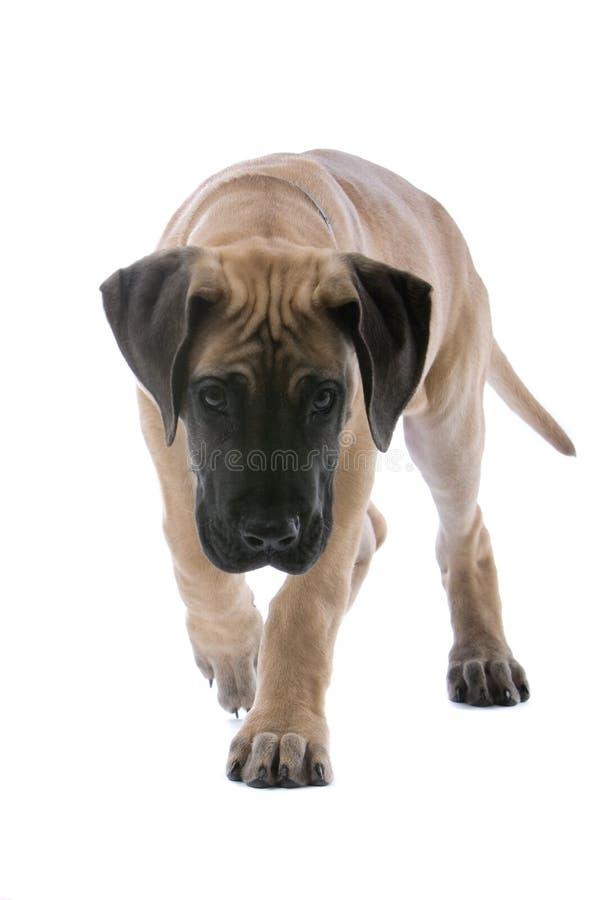 Grote het puppy dichte omhooggaand van de Deen stock fotografie
