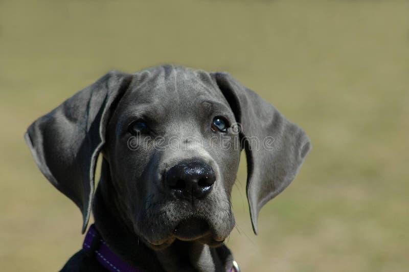 Grote het puppyhond van de Deen stock afbeelding