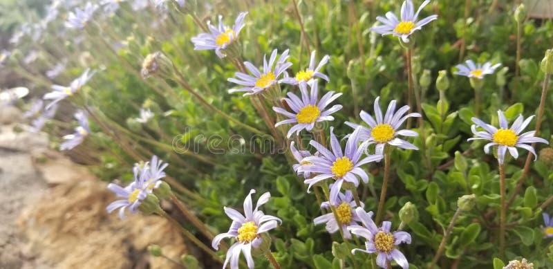 In grote hoeveelheden geplante tuinbloemen - Aster x frikartii 'Monch ' stock foto