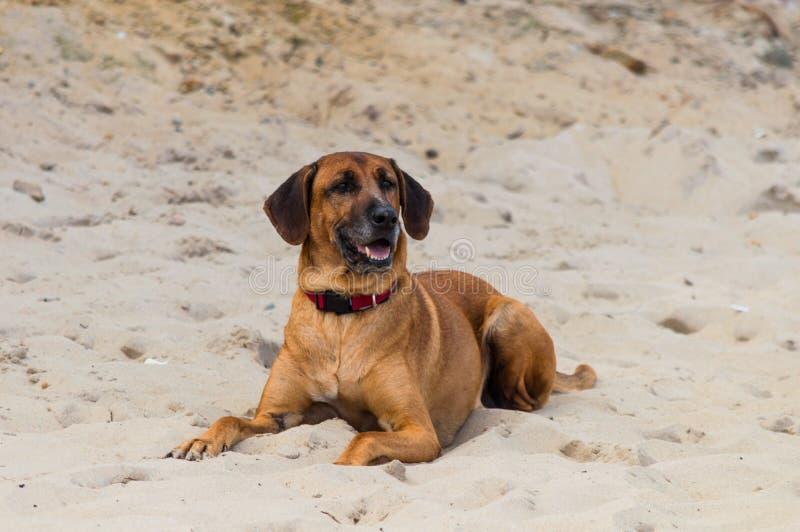 Grote hond die op zandstrand leggen royalty-vrije stock foto