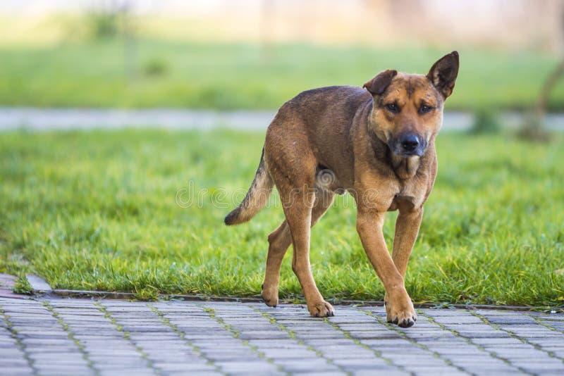 Grote hond die in openlucht op een zonnige dag met vage achtergrond lopen stock foto