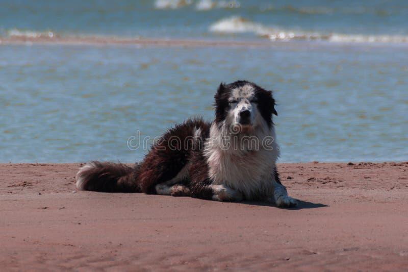 Grote hond het strand stock afbeeldingen