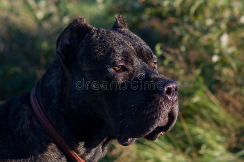 Grote hond met een ernstige blik stock afbeelding