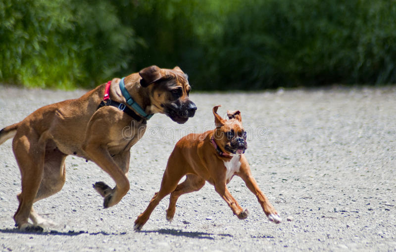 Grote Hond Weinig Hond stock foto