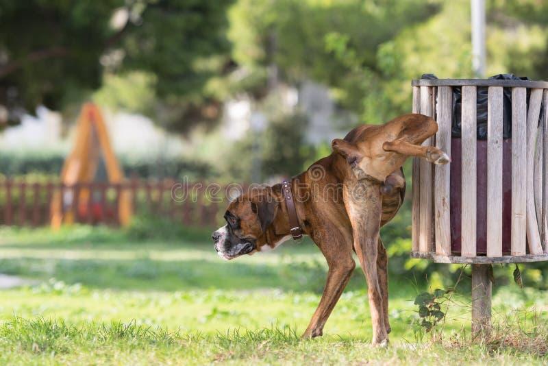 Grote hondbokser die in een park plassen royalty-vrije stock foto
