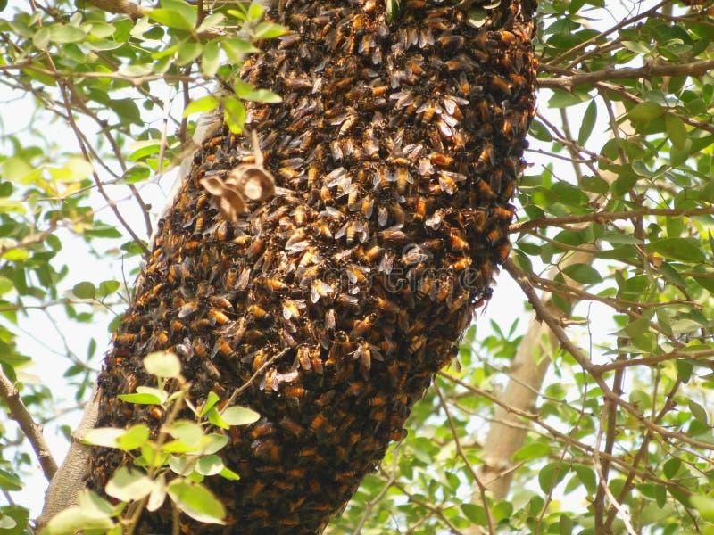 Grote Honey Bee-bijenkorf op tak van Indische Rozehoutboom in aard stock foto