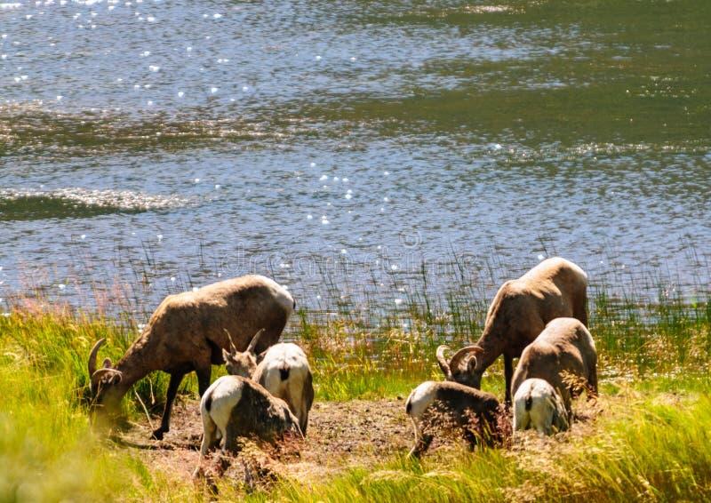 Grote hoornschapen in Colorado stock foto's