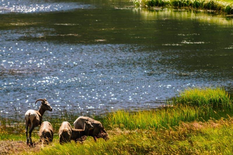 Grote hoornschapen in Colorado royalty-vrije stock foto