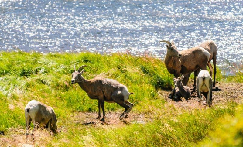 Grote hoornschapen in Colorado royalty-vrije stock foto's