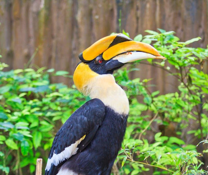 Grote hornbill stock afbeelding