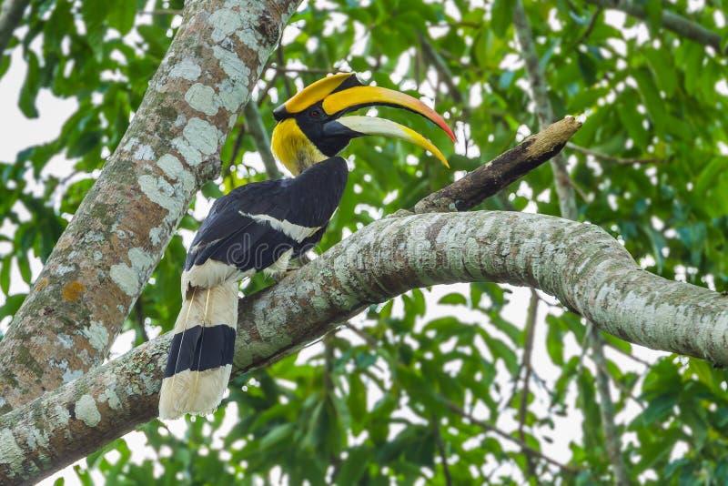 Grote Hornbill royalty-vrije stock foto