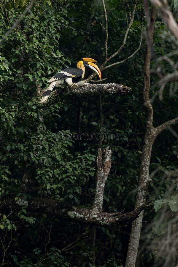 Grote Hornbill royalty-vrije stock foto's