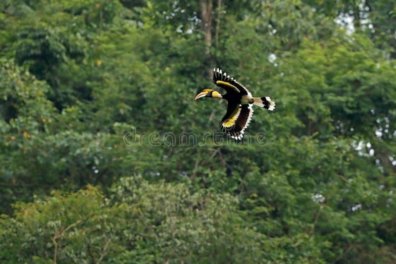 Grote Hornbill royalty-vrije stock afbeelding