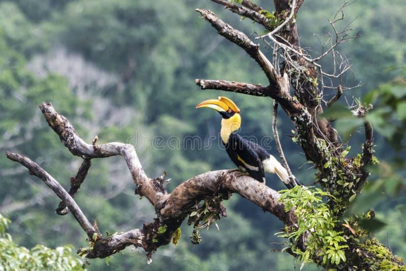 Grote Hornbill in bosthailand royalty-vrije stock fotografie