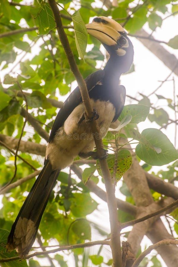 Grote hornbill, Buceros-bicornis in wilde aard, Ko Ngai, Thailand stock afbeeldingen