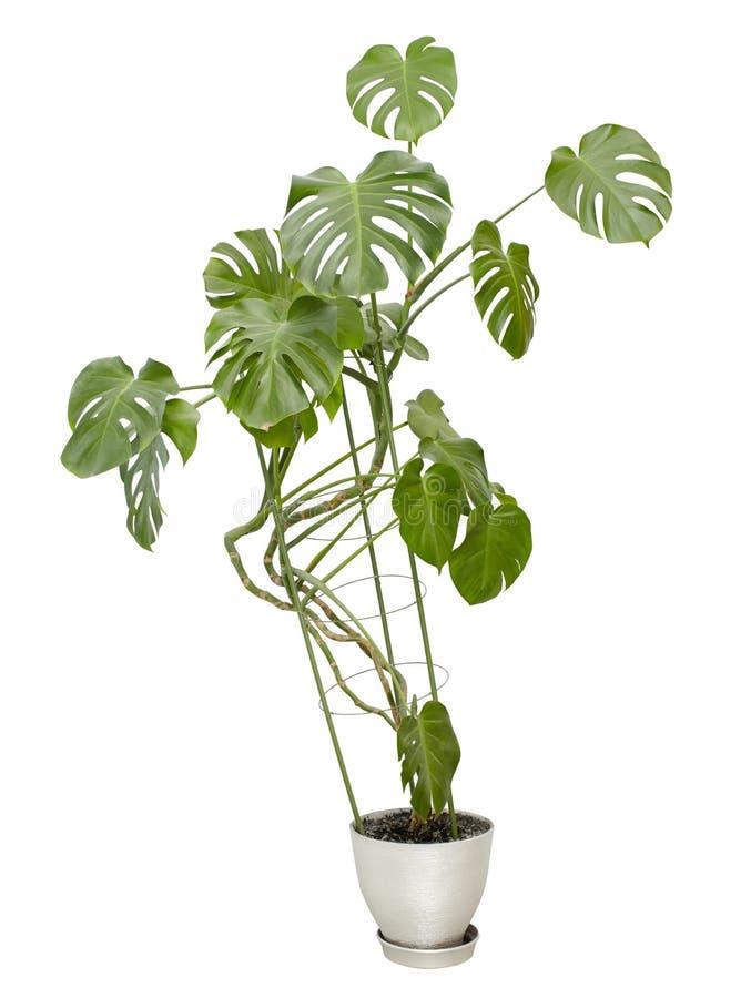 Grote houseplant, lange boom in een pot royalty-vrije stock foto's