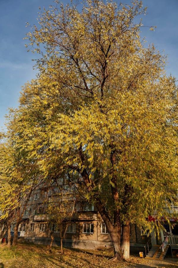 Grote iepboom met de herfstbladeren royalty-vrije stock foto's
