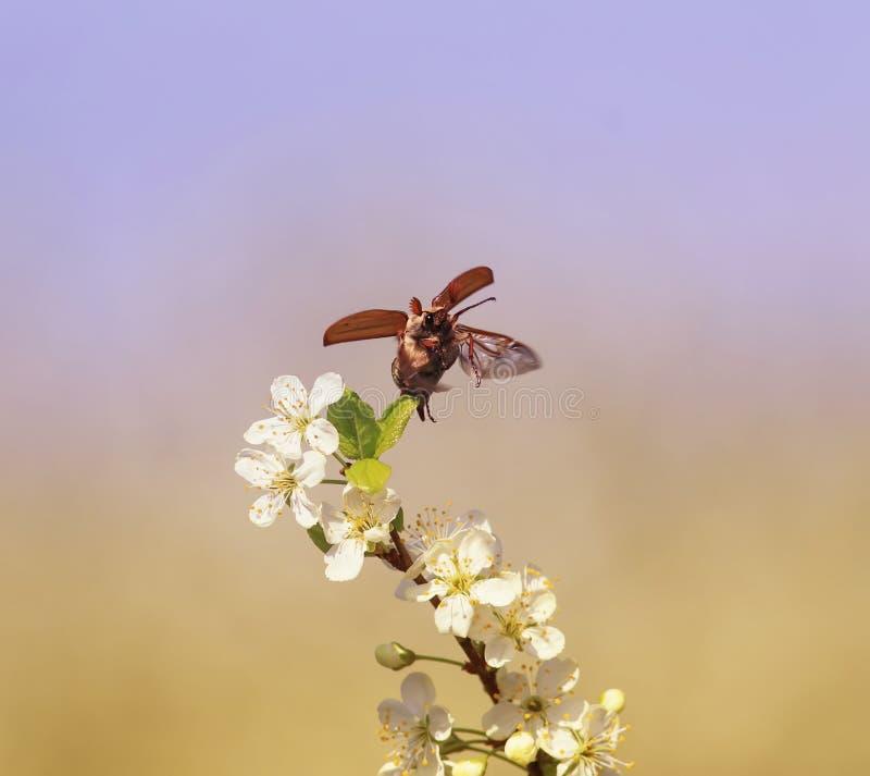 Grote insect mei-Bij vliegen die zijn vleugels over de takken van bloeiende kers in de tuin uitspreiden tegen een blauwe hemel royalty-vrije stock afbeelding