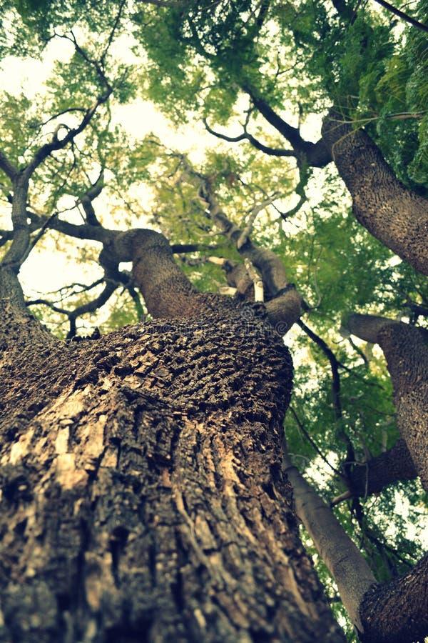 Grote jacarandaboom die omhoog eruit zien royalty-vrije stock afbeeldingen