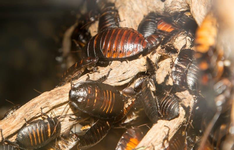 Grote kakkerlakken royalty-vrije stock foto