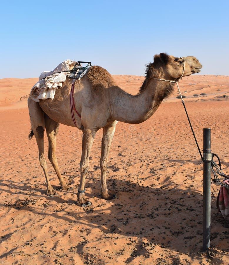 Grote kameel in de woestijn stock foto's