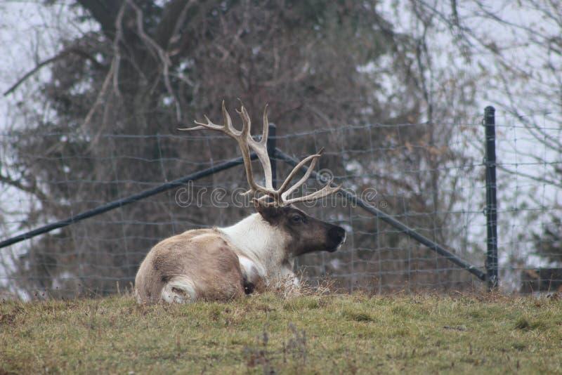 Grote kariboe met indrukwekkende geweitakken bij de dierentuin royalty-vrije stock foto