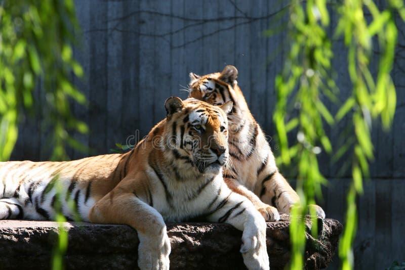Grote katten royalty-vrije stock afbeelding