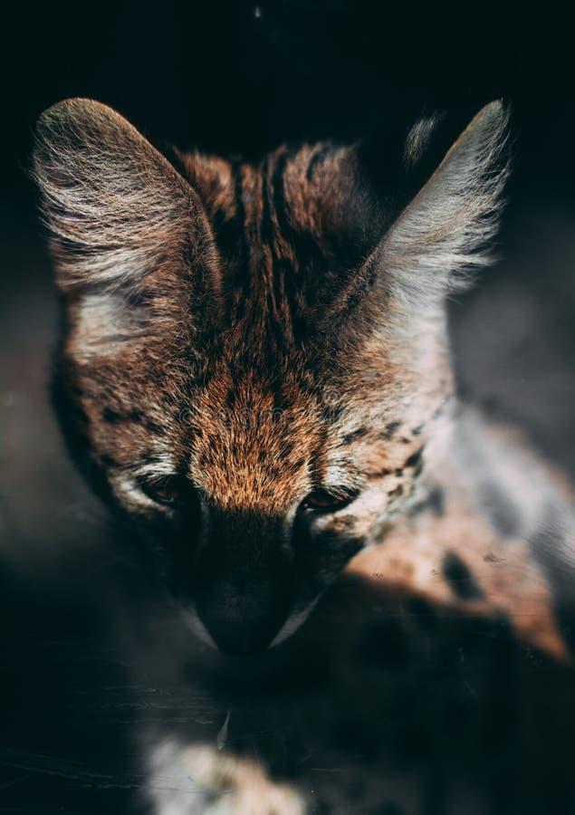 Grote katten hoofddierentuin royalty-vrije stock afbeeldingen