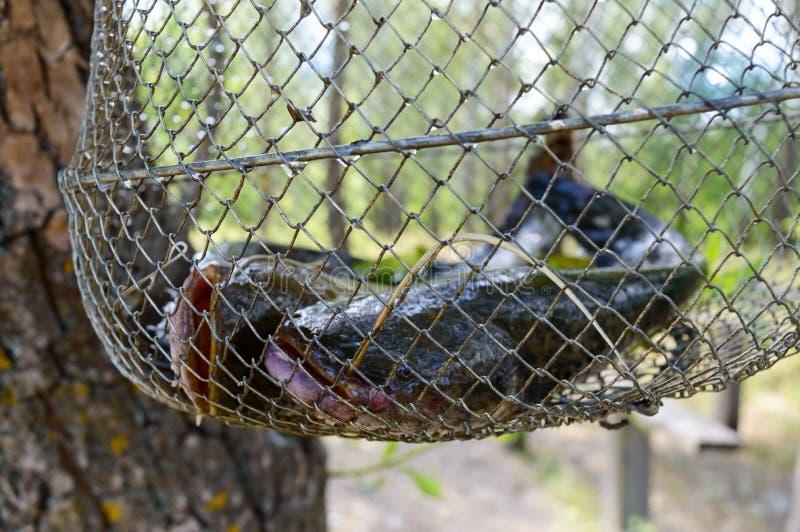 Grote katvis in het net Verse Vangst royalty-vrije stock foto