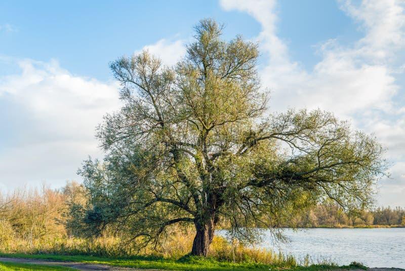 Grote kenmerkende boom op de waterkant royalty-vrije stock foto's