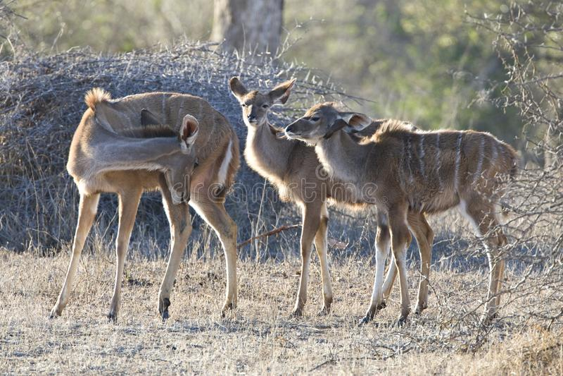 Grote koedoe, större Kudu, Tragelaphusstrepsiceros royaltyfri bild