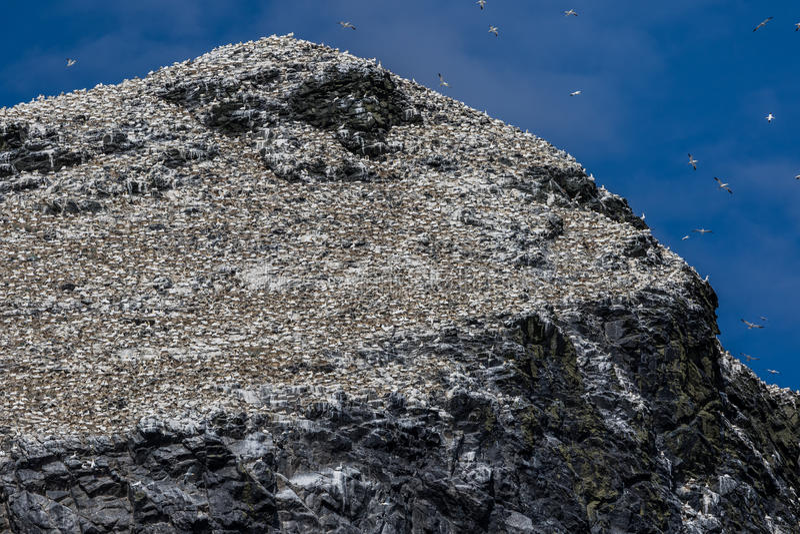 Grote kolonie van het nestelen jan-van-gent stock foto's