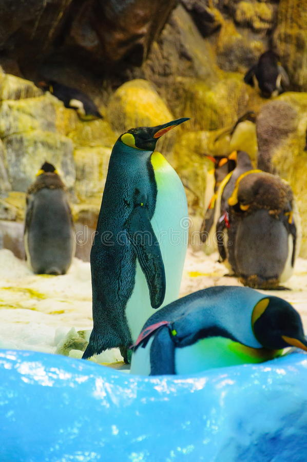 Grote Koningspinguïnen in Loro Parque, Tenerife, Canarische Eilanden royalty-vrije stock afbeelding