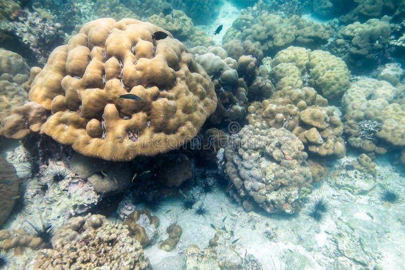 Grote koraalrifkolonie met vissen in lipeoverzees stock afbeelding