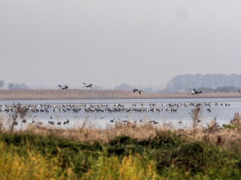 Grote Kraanvogeltroepen, Grus-grus in het Nationale Park van Hortobà ¡ GY, Hongarije stock foto