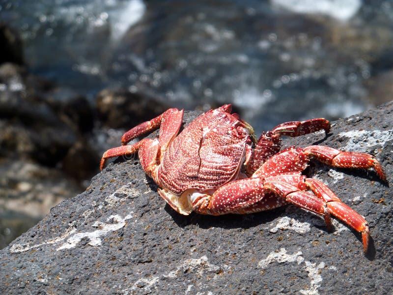 Grote krab bij stoneystrand royalty-vrije stock foto's