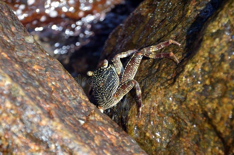Grote krab op de rots door het overzees royalty-vrije stock foto