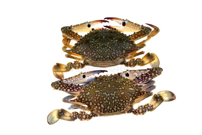 Grote krabben op witte achtergrond royalty-vrije stock afbeeldingen