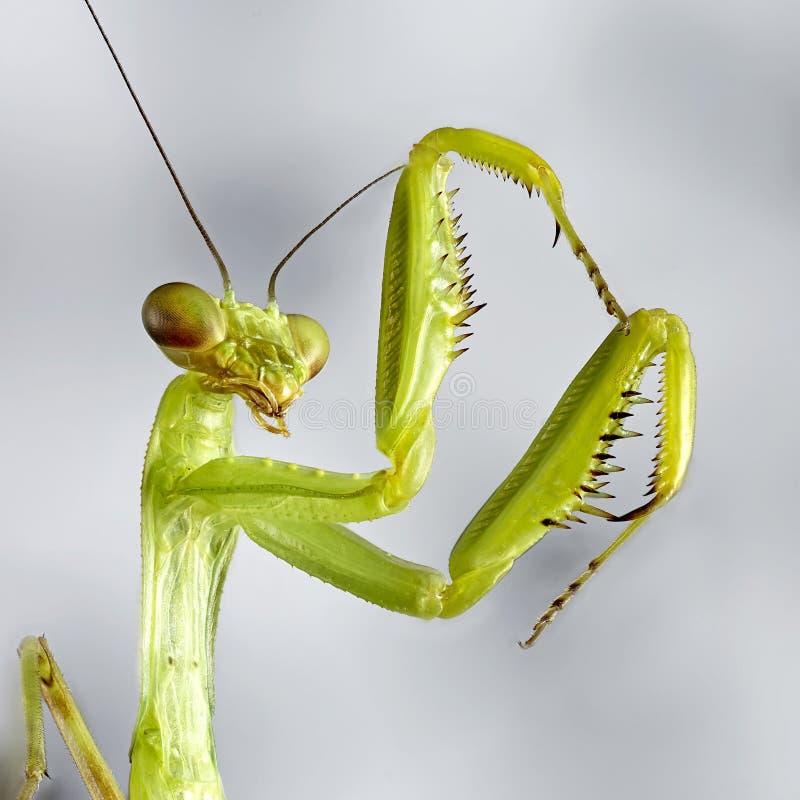 Grote Krimbidsprinkhanen Macro dicht omhoog het stapelen beeld Insectfoto royalty-vrije stock fotografie
