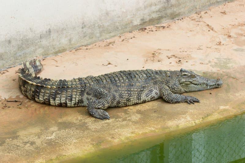 Grote Krokodil in Landbouwbedrijf stock foto