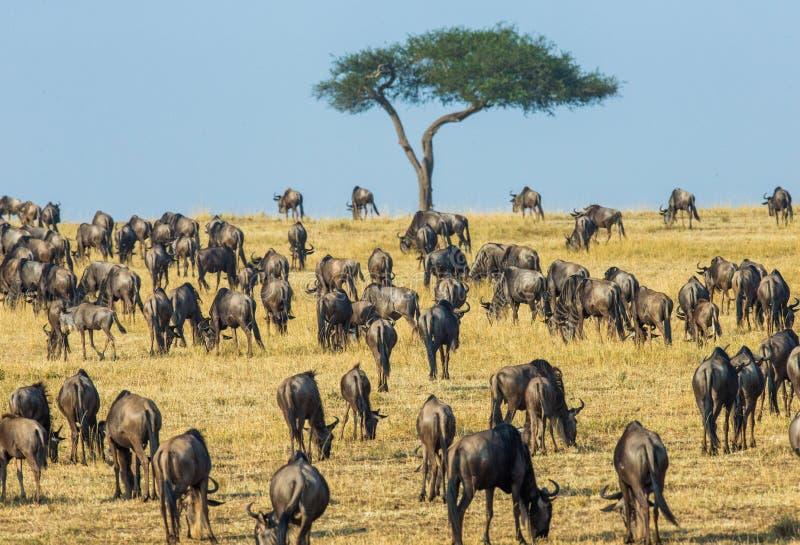 Grote kudde van het meest wildebeest in de savanne Grote migratie kenia tanzania Masai Mara National Park stock foto