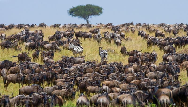 Grote kudde van het meest wildebeest in de savanne Grote migratie kenia tanzania Masai Mara National Park royalty-vrije stock fotografie