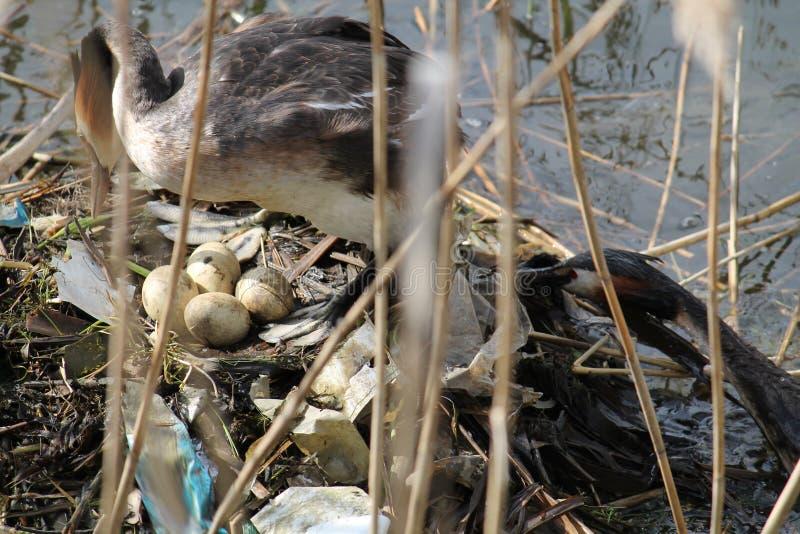 Grote kuiffuut bij nest met eieren Vogel` s nest van huisvuil wordt gebouwd dat Effect van milieuvervuiling royalty-vrije stock foto