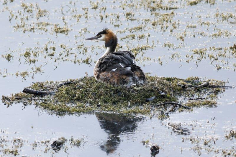 Grote Kuiffuut op het nest stock afbeelding